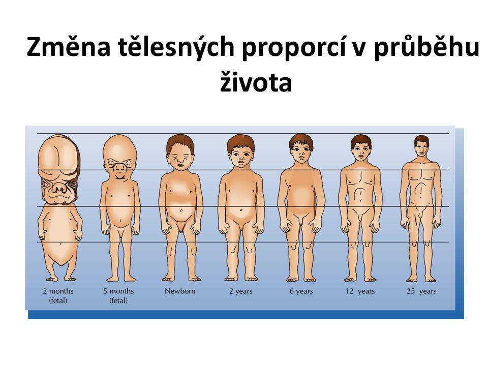 Změna tělesných proporcí v průběhu