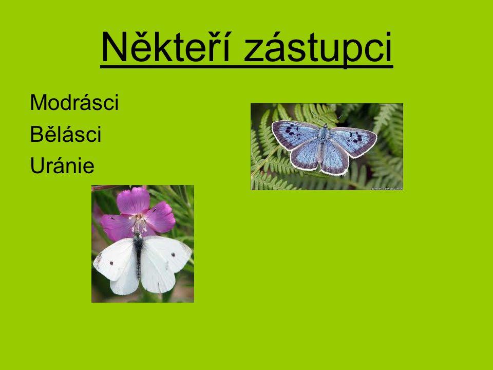 Někteří zástupci Modrásci Bělásci Uránie