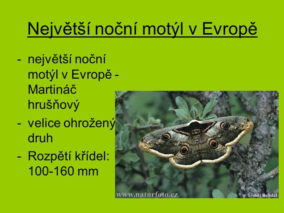 Největší noční motýl v Evropě