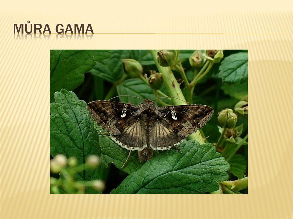 můra gama