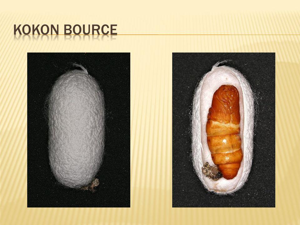kokon bource
