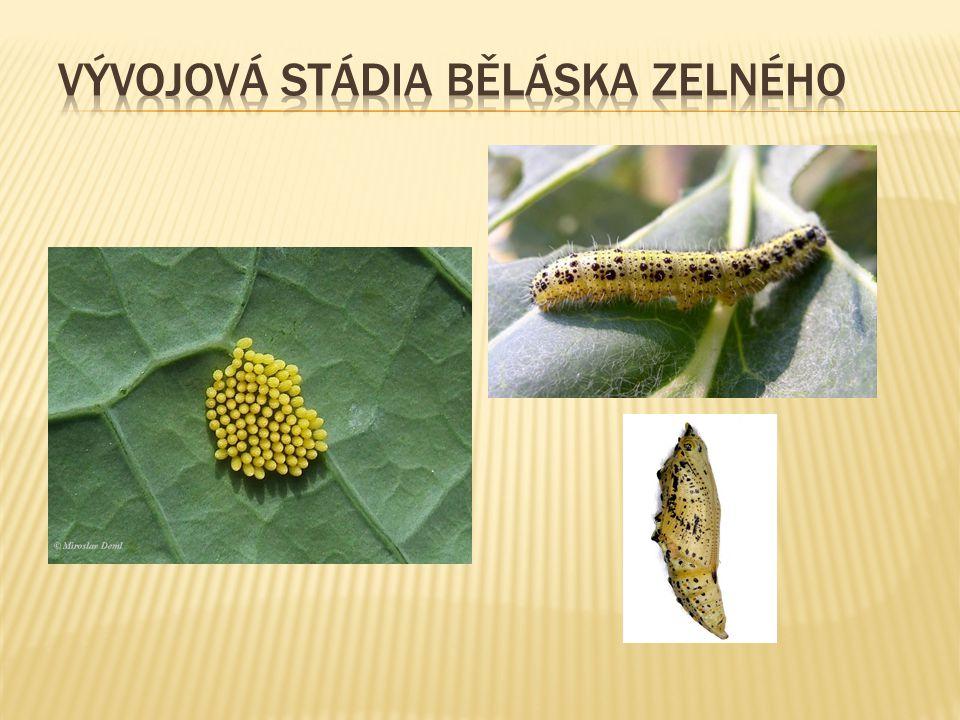 vývojová stádia běláska zelného