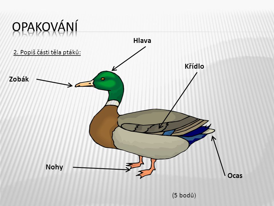 opakování Hlava Křídlo Zobák Nohy Ocas 2. Popiš části těla ptáků: