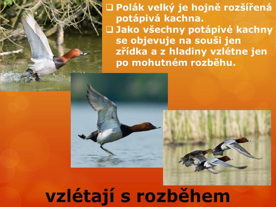 vzlétají s rozběhem Polák velký je hojně rozšířená potápivá kachna.