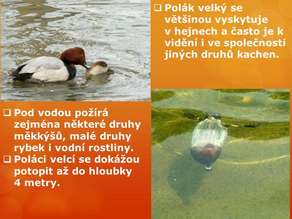 Polák velký se většinou vyskytuje v hejnech a často je k vidění i ve společnosti jiných druhů kachen.