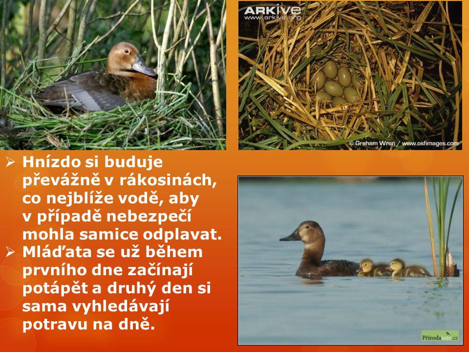 Hnízdo si buduje převážně v rákosinách, co nejblíže vodě, aby v případě nebezpečí mohla samice odplavat.