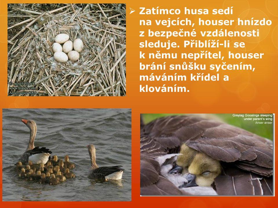 Zatímco husa sedí na vejcích, houser hnízdo z bezpečné vzdálenosti sleduje.