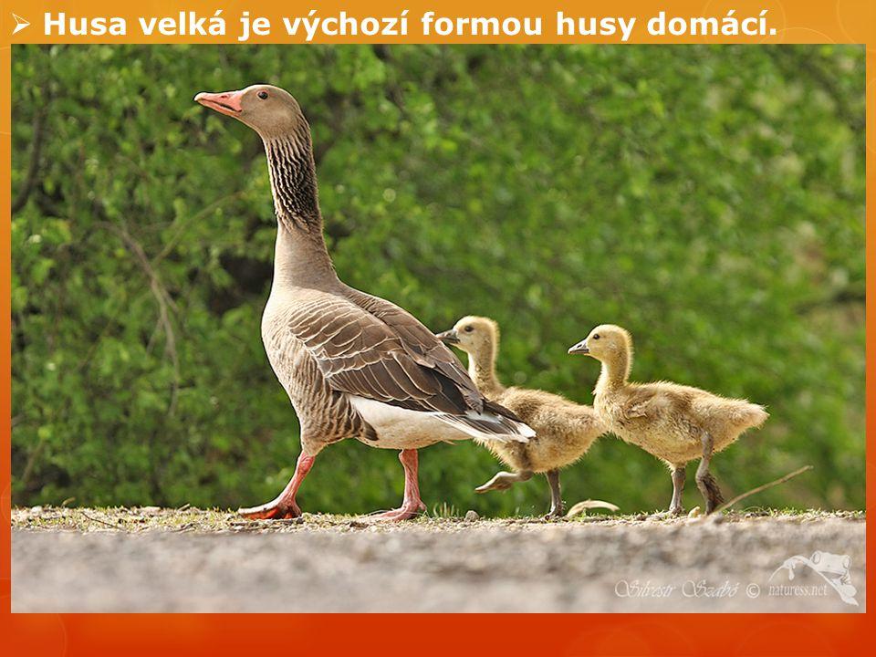 Husa velká je výchozí formou husy domácí.
