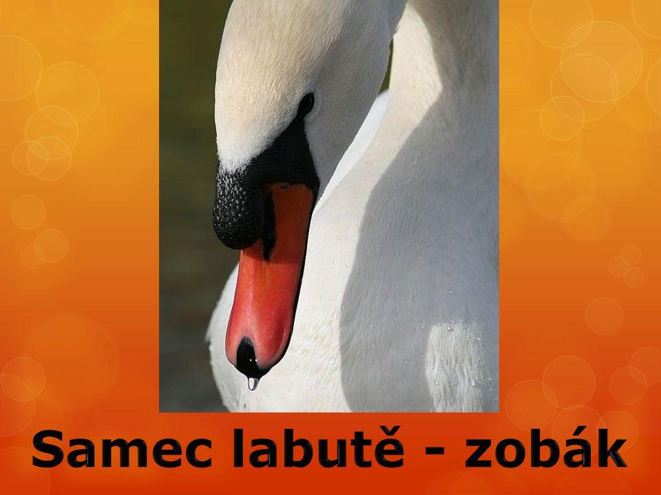 Samec labutě - zobák