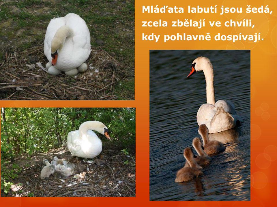 Mláďata labutí jsou šedá, zcela zbělají ve chvíli, kdy pohlavně dospívají.