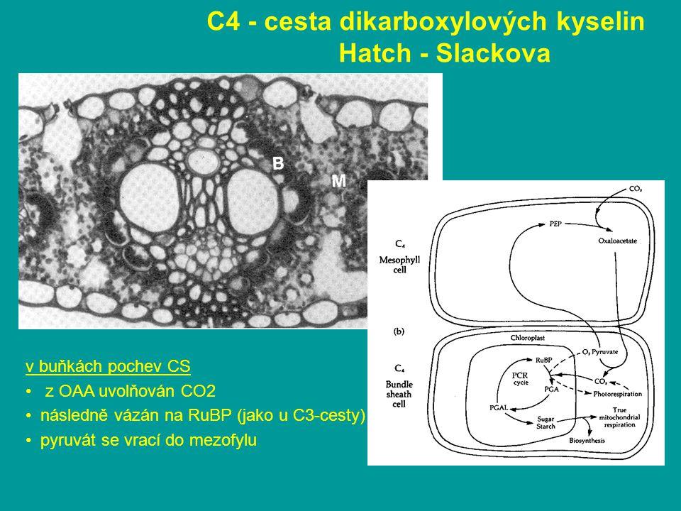 C4 - cesta dikarboxylových kyselin Hatch - Slackova