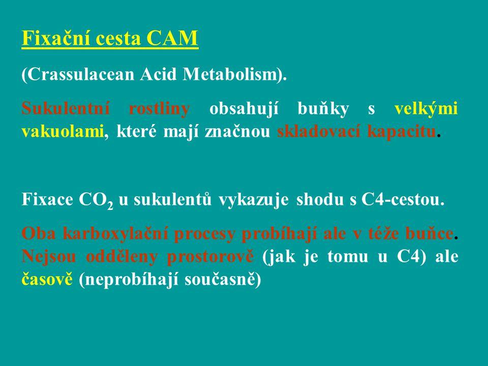 Fixační cesta CAM (Crassulacean Acid Metabolism).