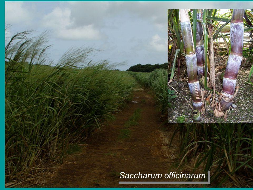 S Saccharum officinarum