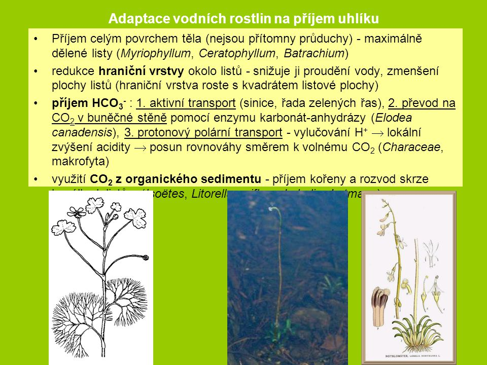 Adaptace vodních rostlin na příjem uhlíku