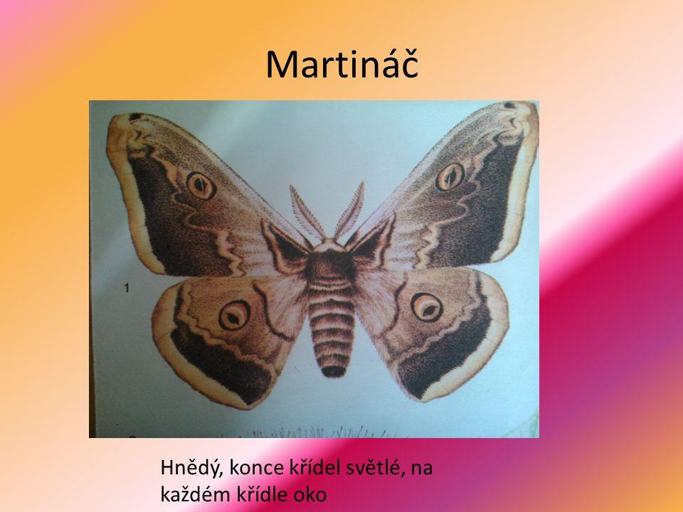 Martináč Hnědý, konce křídel světlé, na každém křídle oko