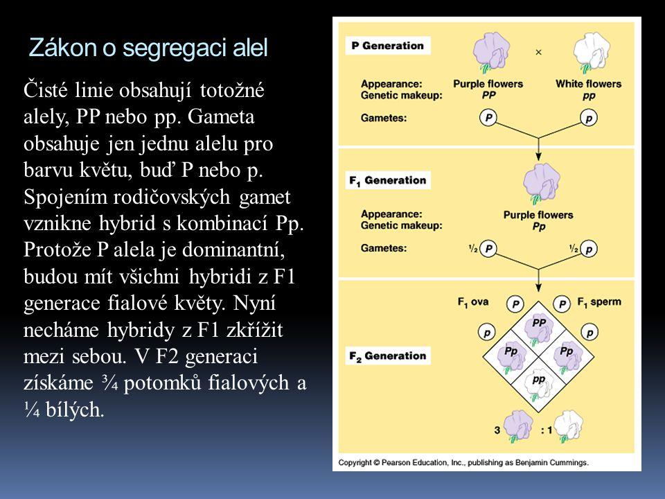 Zákon o segregaci alel Čisté linie obsahují totožné alely, PP nebo pp. Gameta obsahuje jen jednu alelu pro barvu květu, buď P nebo p.