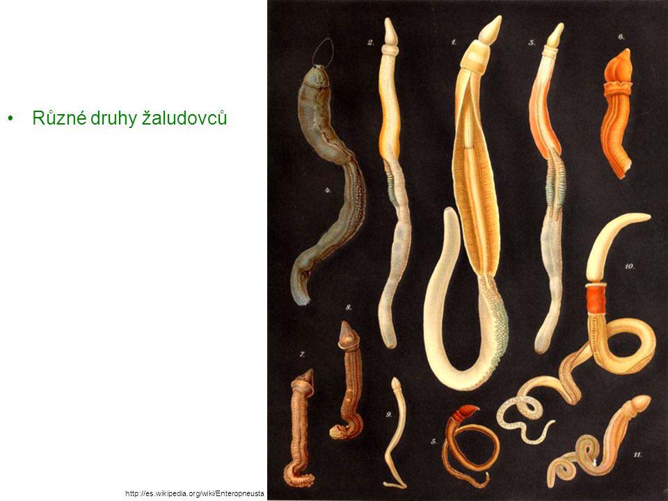 Různé druhy žaludovců http://es.wikipedia.org/wiki/Enteropneusta