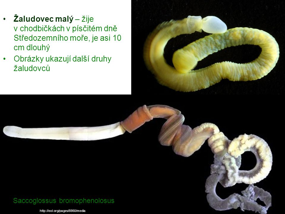 Obrázky ukazují další druhy žaludovců