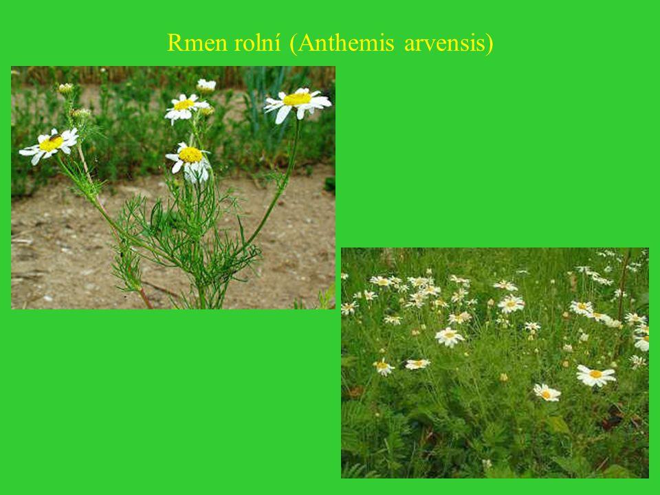 Rmen rolní (Anthemis arvensis)