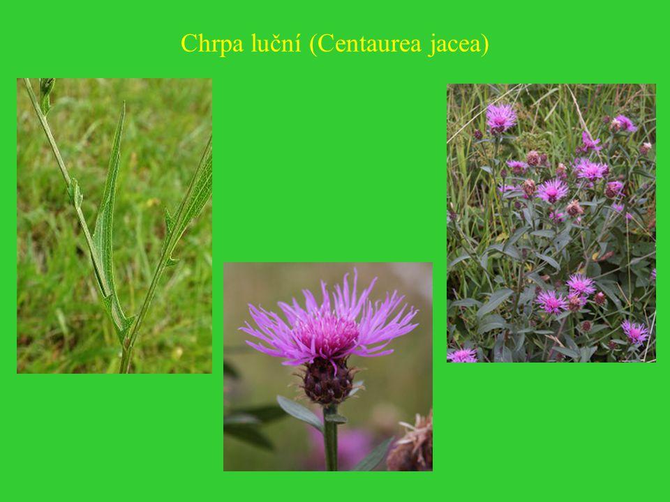 Chrpa luční (Centaurea jacea)