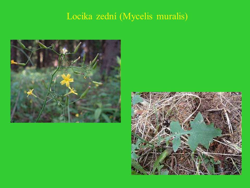 Locika zední (Mycelis muralis)