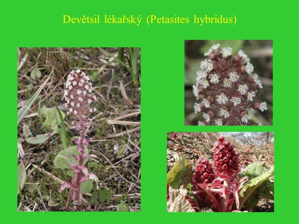 Devětsil lékařský (Petasites hybridus)