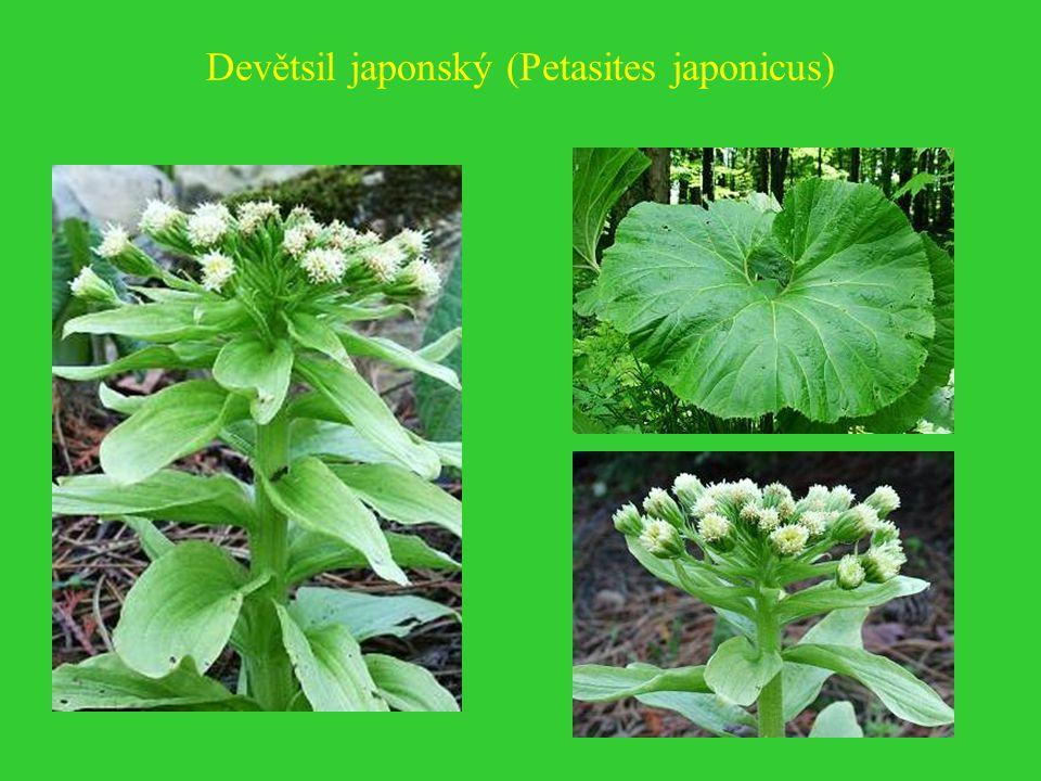 Devětsil japonský (Petasites japonicus)