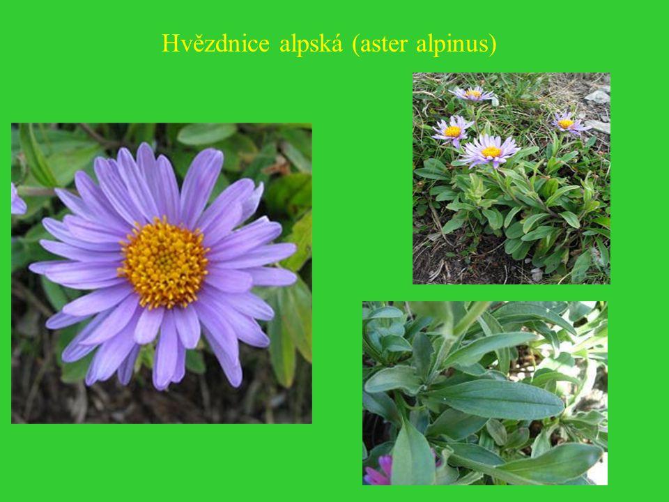 Hvězdnice alpská (aster alpinus)