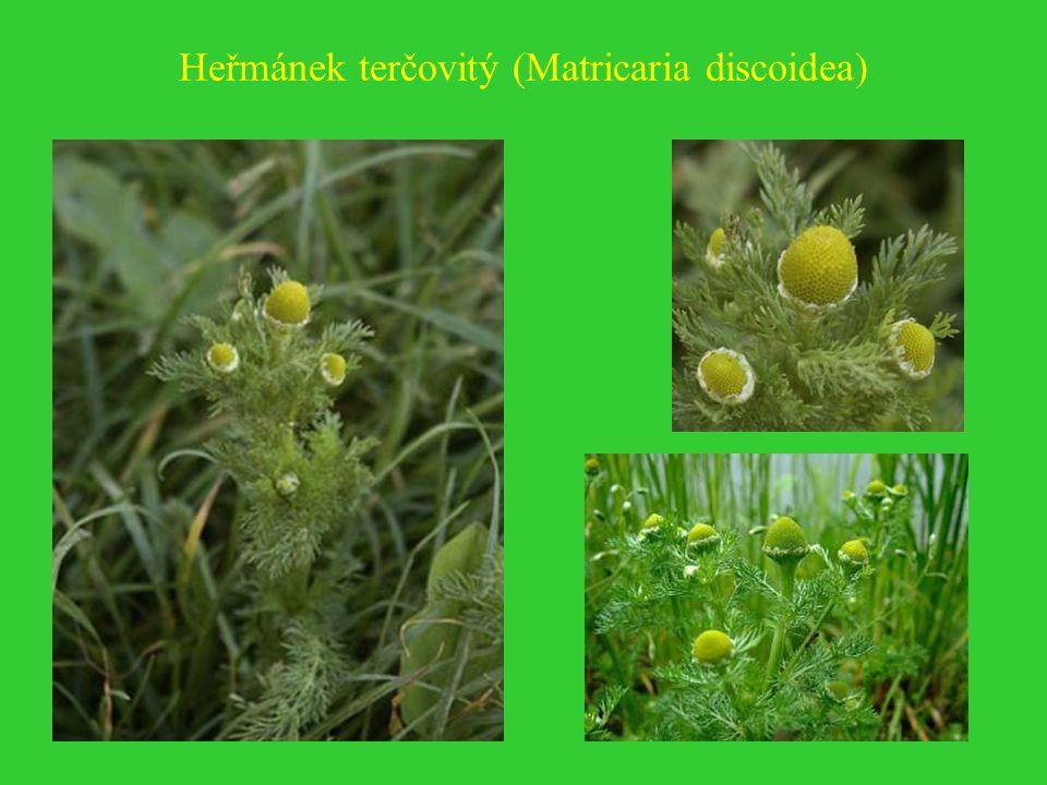 Heřmánek terčovitý (Matricaria discoidea)