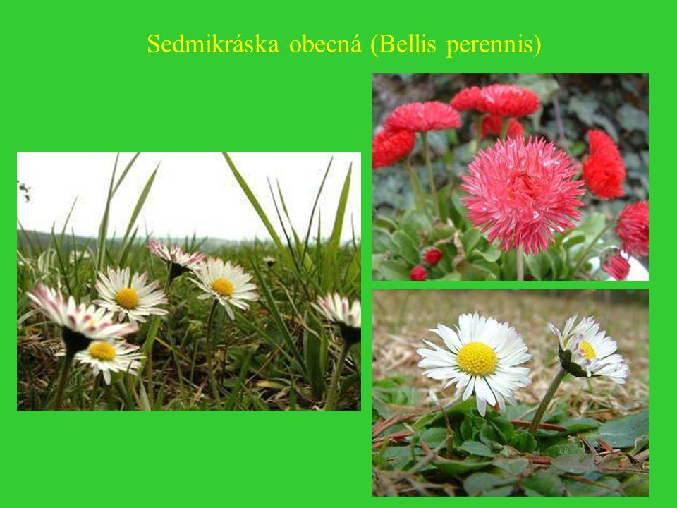 Sedmikráska obecná (Bellis perennis)
