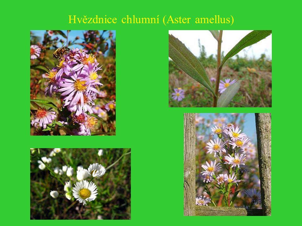 Hvězdnice chlumní (Aster amellus)