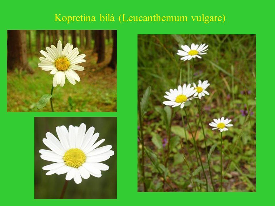 Kopretina bílá (Leucanthemum vulgare)