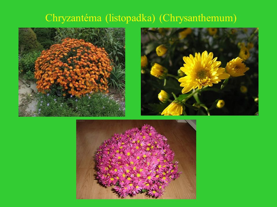Chryzantéma (listopadka) (Chrysanthemum)