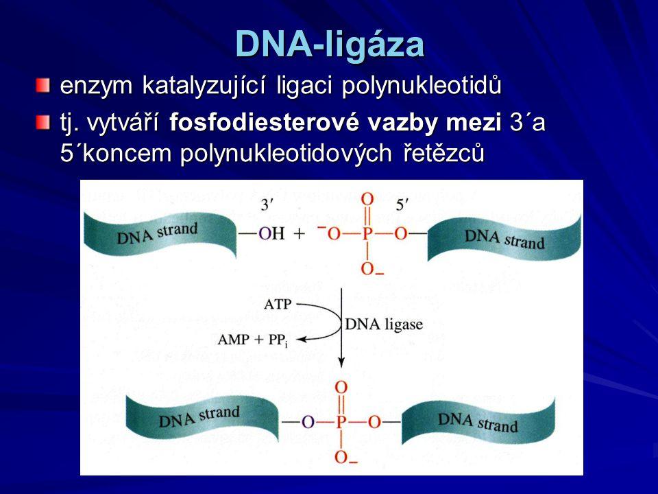 DNA-ligáza enzym katalyzující ligaci polynukleotidů