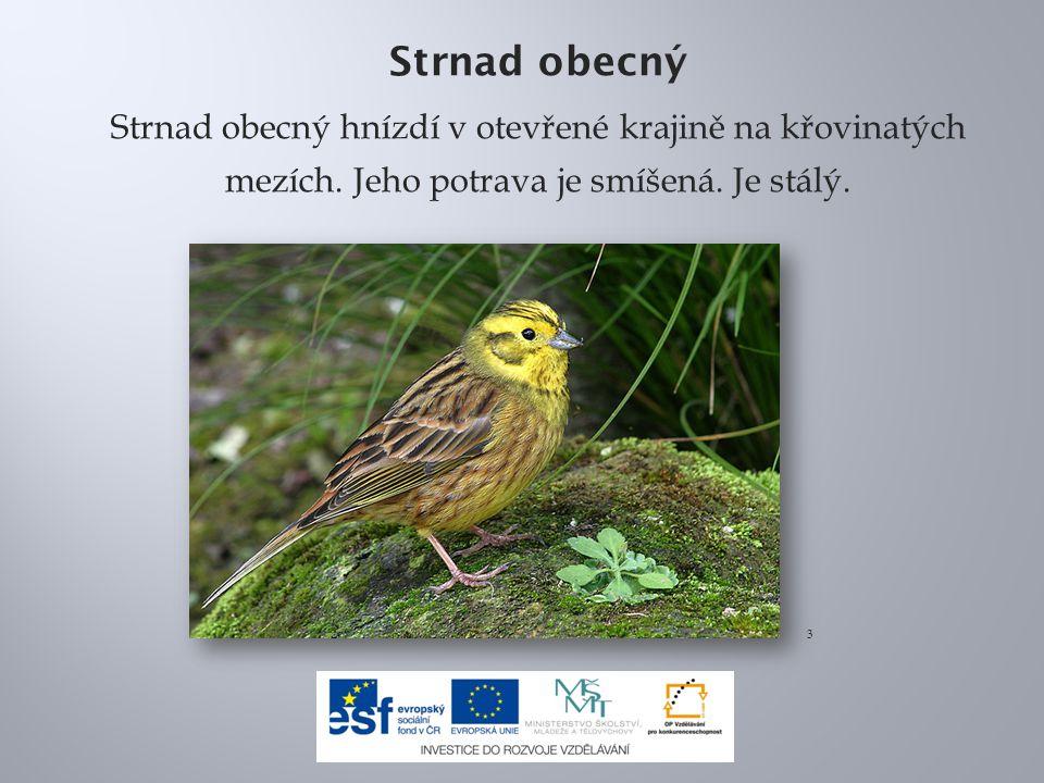 Strnad obecný Strnad obecný hnízdí v otevřené krajině na křovinatých mezích. Jeho potrava je smíšená. Je stálý.