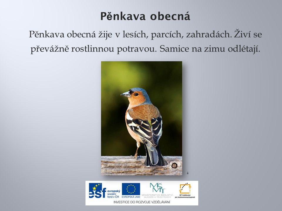 Pěnkava obecná Pěnkava obecná žije v lesích, parcích, zahradách. Živí se převážně rostlinnou potravou. Samice na zimu odlétají.