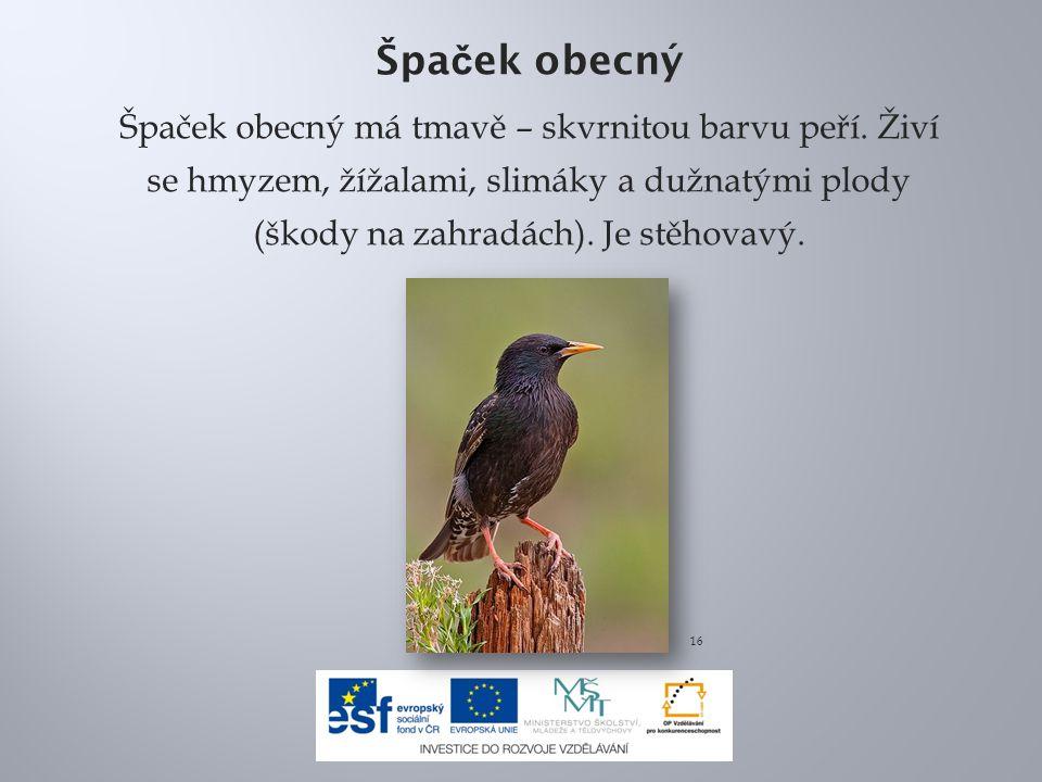 Špaček obecný Špaček obecný má tmavě – skvrnitou barvu peří. Živí se hmyzem, žížalami, slimáky a dužnatými plody (škody na zahradách). Je stěhovavý.