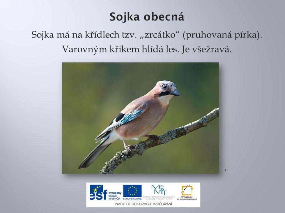 """Sojka obecná Sojka má na křídlech tzv. """"zrcátko (pruhovaná pírka). Varovným křikem hlídá les. Je všežravá."""