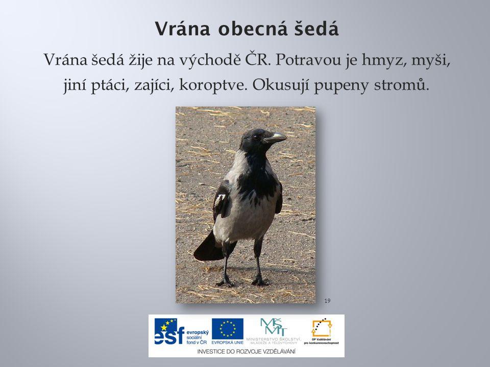 Vrána obecná šedá Vrána šedá žije na východě ČR. Potravou je hmyz, myši, jiní ptáci, zajíci, koroptve. Okusují pupeny stromů.
