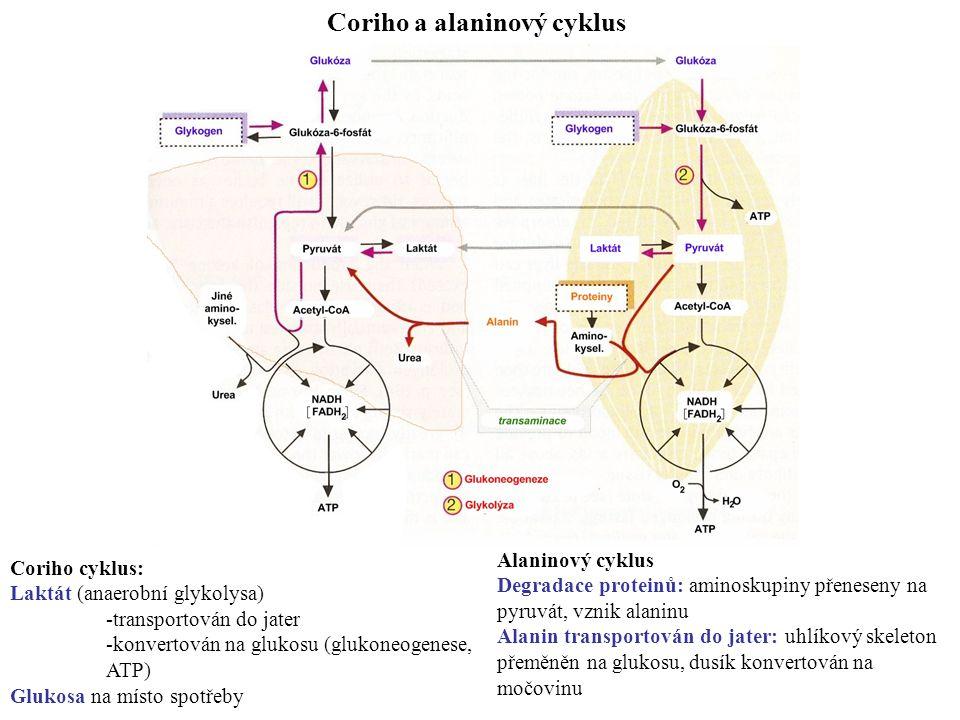 Coriho a alaninový cyklus