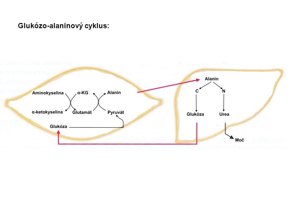 Glukózo-alaninový cyklus:
