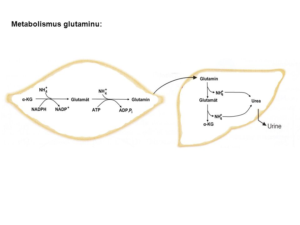 Metabolismus glutaminu:
