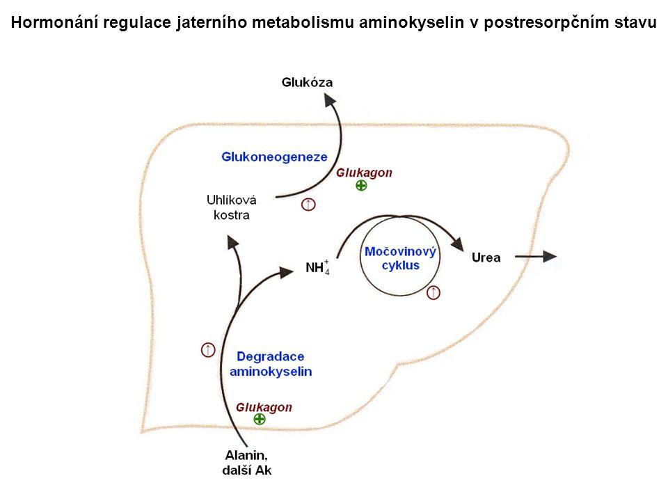 Hormonání regulace jaterního metabolismu aminokyselin v postresorpčním stavu