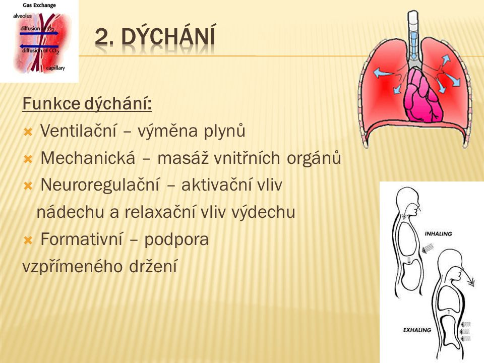 2. Dýchání Funkce dýchání: Ventilační – výměna plynů