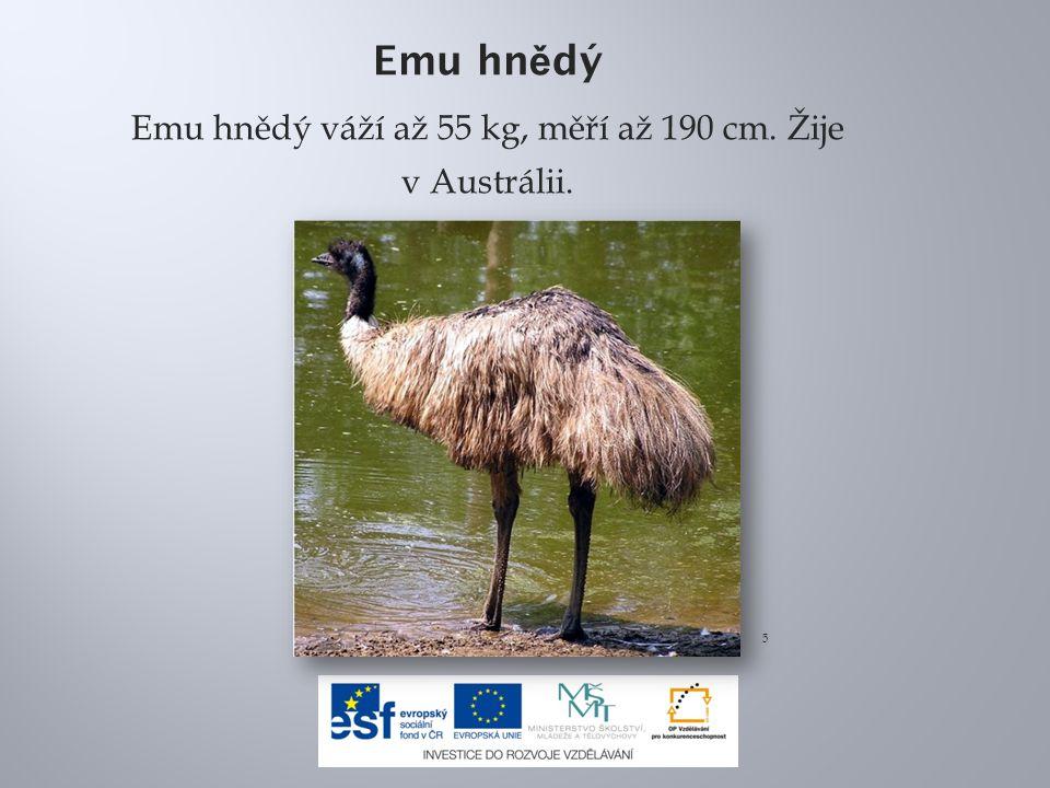 Emu hnědý váží až 55 kg, měří až 190 cm. Žije