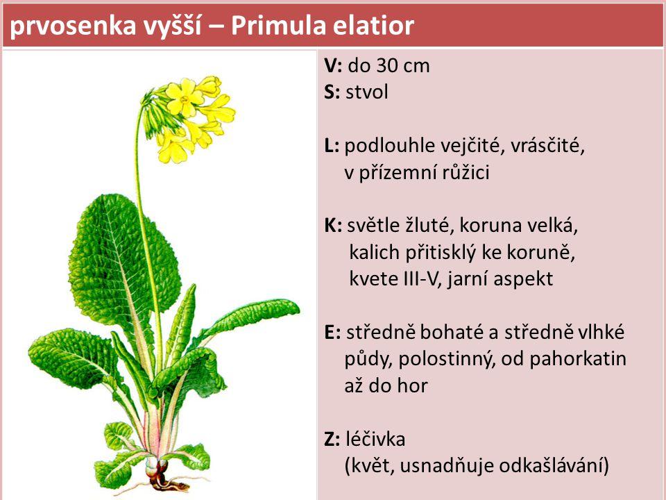 prvosenka vyšší – Primula elatior