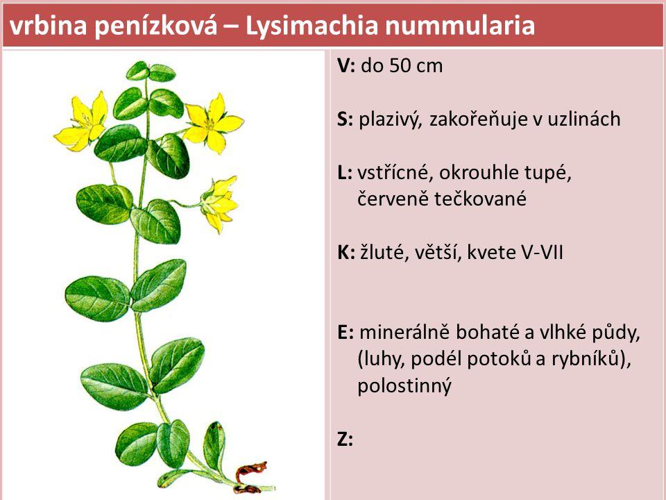 vrbina penízková – Lysimachia nummularia
