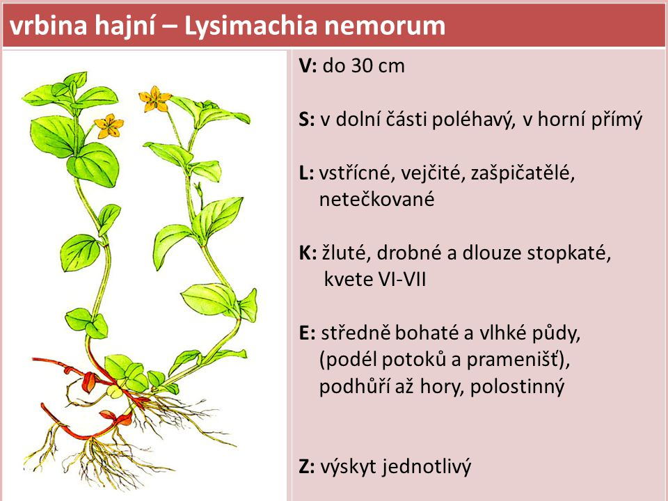 vrbina hajní – Lysimachia nemorum
