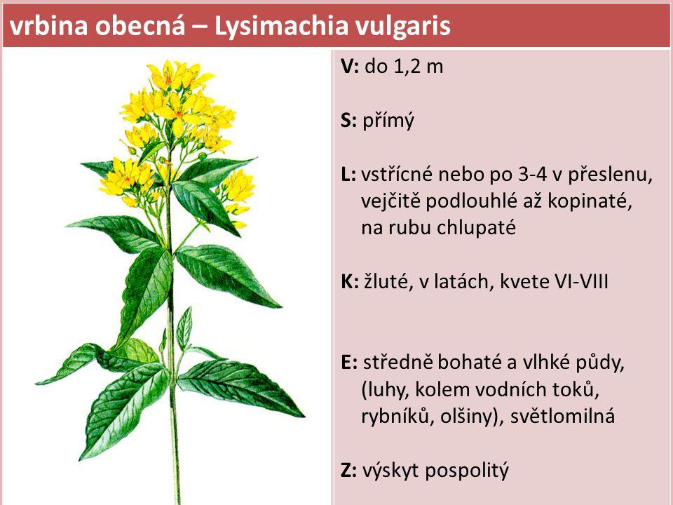 vrbina obecná – Lysimachia vulgaris