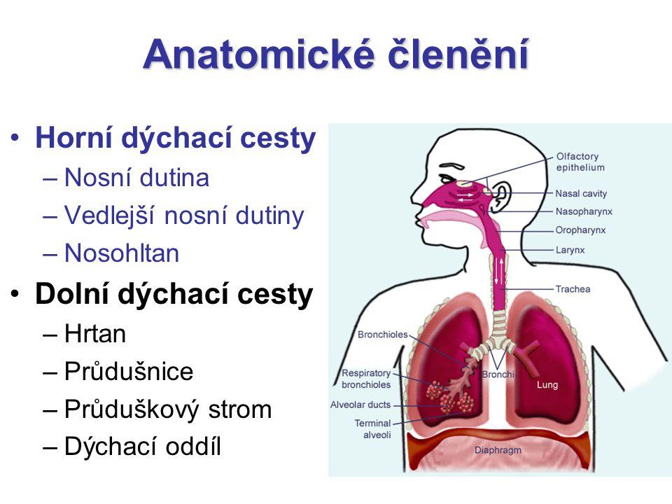 Anatomické členění Horní dýchací cesty Dolní dýchací cesty